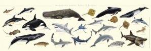 Nouvelle édition Affiche Les mammifères marins, raies et requins