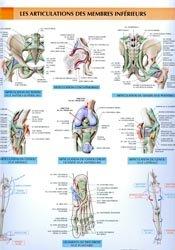 Articulations membres inférieurs