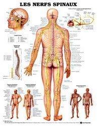 Dernières parutions sur Planches - Posters, Planche des nerfs spinaux