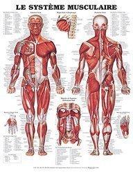 Dernières parutions sur , Planche du système musculaire