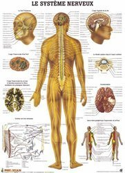 Dernières parutions sur Planches - Posters, Planche du système nerveux