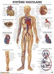 Dernières parutions sur Planches - Posters, Planche du système vasculaire