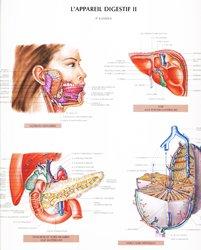 L'appareil digestif II