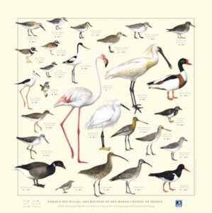 Affiche Oiseaux des plages, des rochers, et des marais côtiers de France - gulf stream éditeur images - 2226179744523 -