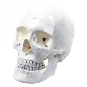 Crâne humain 3 pièces - too medical - 2225331083197 -
