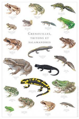 Grenouilles, tritons et salamandres - gulf stream  - 2225012449595